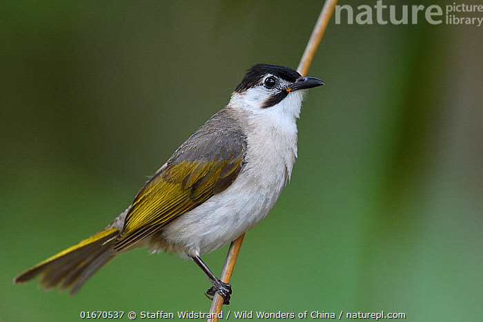 Styan's Bulbul (Pycnonotus taivanus) endemic species, Kenting National Park, Taiwan  ,  Animal,Wildlife,Vertebrate,Bird,Birds,Songbird,Bulbul,Styan&#39,s bulbul,Animalia,Animal,Wildlife,Vertebrate,Aves,Bird,Birds,Passeriformes,Songbird,Passerine,Pycnonotidae,Bulbul,Pycnonotus,Asia,East Asia,Taiwan,Nationalist Republic Of China,Copy Space,Profile,Side View,Reserve,Endemic,Protected area,National Park,Negative space,Pycnonotus taivanus,Styan&#39,s bulbul,  ,  Staffan Widstrand / Wild Wonders of China