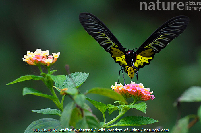 Golden Birdwing butterfly (Troides aeacus) Sheding Forest park, Kenting National Park, Taiwan  ,  Animal,Wildlife,Arthropod,Insect,Swallowtail butterfly,Animalia,Animal,Wildlife,Hexapoda,Arthropod,Invertebrate,Hexapod,Arthropoda,Insecta,Insect,Lepidoptera,Lepidopterans,Papilionidae,Swallowtail butterfly,Papilionid,Butterfly,Colour,Pink,Asia,East Asia,Taiwan,Nationalist Republic Of China,Plant,Flower,Reserve,Protected area,National Park,Troides aeacus,  ,  Staffan Widstrand / Wild Wonders of China