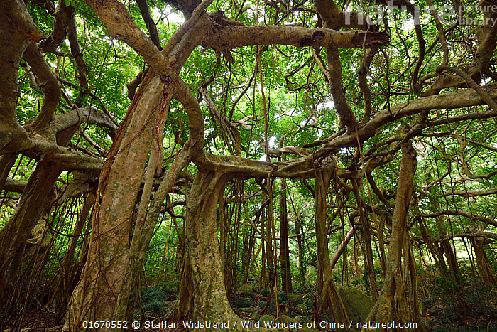 Banyan fig tree (Ficus benjamina), one single individual tree, Banyan garden protected forest, Kenting National Park, Taiwan  ,  Plant,Vascular plant,Flowering plant,Rosid,Fig,Plantae,Plant,Tracheophyta,Vascular plant,Magnoliopsida,Flowering plant,Angiosperm,Spermatophyte,Spermatophytina,Angiospermae,Rosales,Rosid,Dicot,Dicotyledon,Rosanae,Moraceae,Ficus,Fig,Fig tree,Asia,East Asia,Taiwan,Nationalist Republic Of China,Tree Trunk,Tree,Reserve,Protected area,National Park,Interesting,Trunk,  ,  Staffan Widstrand / Wild Wonders of China