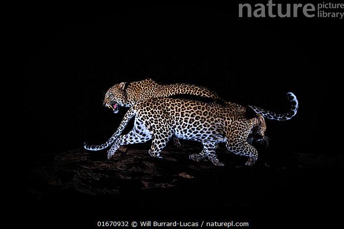 A mating pair of leopards (Panthera pardus) caught in front of a camera trap at night, Laikipia Wilderness Camp, Kenya. Photographed with a camera trap. EDITORIAL USE ONLY. All other uses require clearance.  ,  Animal,Wildlife,Vertebrate,Mammal,Carnivore,Cat,Big cat,Leopard,Animalia,Animal,Wildlife,Vertebrate,Mammalia,Mammal,Carnivora,Carnivore,Felidae,Cat,Panthera,Big cat,Panthera pardus,Leopards,Vocalisation,Growling,Courting,Contrasts,Side By Side,Two,Dark,Africa,East Africa,Kenya,Copy Space,Plain Background,Black Background,Profile,Side View,Night,Animal Behaviour,Reproduction,Mating Behaviour,Courtship,Leopard,Male female pair,Negative space,Behavior,Laikipia,Endagered species,Threatened,Vulnerable  ,  Will Burrard-Lucas