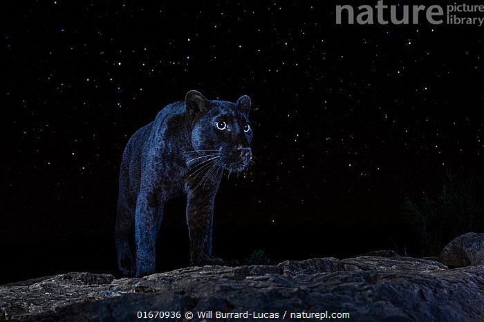 Male melanistic leopard (Panthera pardus) at night, under a starry sky. Laikipia Wilderness Camp, Kenya. Photographed with a camera trap. EDITORIAL USE ONLY. All other uses require clearance.  ,  Animal,Wildlife,Vertebrate,Mammal,Carnivore,Cat,Big cat,Leopard,Animalia,Animal,Wildlife,Vertebrate,Mammalia,Mammal,Carnivora,Carnivore,Felidae,Cat,Panthera,Big cat,Panthera pardus,Leopards,Camouflage,Mystery,Colour,Black,Dark,Africa,East Africa,Kenya,Copy Space,Plain Background,Black Background,Male Animal,Stars,Sky,Night,Leopard,Melanism,Cryptic,Colour morphs,Negative space,Starry,Mythical,night sky,Laikipia,Black panther,Melanistic,Black,Endagered species,Threatened,Vulnerable  ,  Will Burrard-Lucas