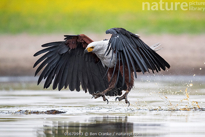 African fish eagle (Haliaeetus vocifer) swoops to catch a freshly caught fish, dropped by a Saddle-billed stork (Ephippiorhynchus senegalensis) after being pressurised to do so by the eagle. Liuwa Plain National Park, Zambia.  ,  Animal,Wildlife,Vertebrate,Bird,Birds,Sea eagle,African fish eagle,Animalia,Animal,Wildlife,Vertebrate,Aves,Bird,Birds,Accipitriformes,Accipitridae,Haliaeetus,Sea eagle,Eagle,Bird of prey,Raptor,Haliaeetus vocifer,African fish eagle,Fish eagle,River eagle,Flying,Landing,Africa,Zambia,Southern Africa,Water Hole,Water Holes,Freshwater,Wetland,Water,Reserve,Protected area,National Park,Liuwa Plain National Park,Birds of Prey,  ,  Ben Cranke