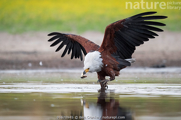 African fish eagle (Haliaeetus vocifer) grabs a fish for a meal, that had recently been caught by a Saddle-billed stork (Ephippiorhynchus senegalensis), after the eagle had pressurised the stork into dropping it. Liuwa Plain National Park, Zambia.  ,  Animal,Wildlife,Vertebrate,Bird,Birds,Sea eagle,African fish eagle,Animalia,Animal,Wildlife,Vertebrate,Aves,Bird,Birds,Accipitriformes,Accipitridae,Haliaeetus,Sea eagle,Eagle,Bird of prey,Raptor,Haliaeetus vocifer,African fish eagle,Fish eagle,River eagle,Theft,Africa,Zambia,Southern Africa,Water Hole,Water Holes,Freshwater,Wetland,Water,Animal Behaviour,Reserve,Protected area,National Park,Stealing,Liuwa Plain National Park,Fish,Birds of Prey,  ,  Ben Cranke