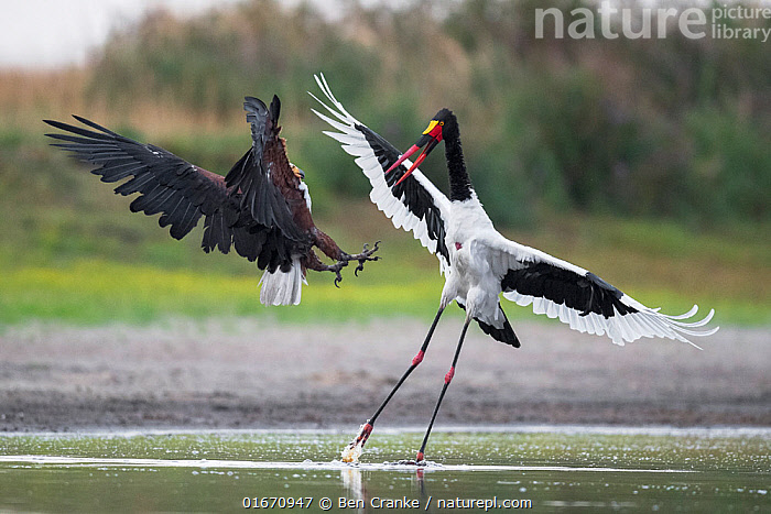African fish eagle (Haliaeetus vocifer) pressurises a Saddle-billed stork (Ephippiorhynchus senegalensis) into dropping a freshly caught fish, so that it can be stolen for a meal. Liuwa Plain National Park, Zambia.  ,  Animal,Wildlife,Vertebrate,Bird,Birds,Sea eagle,African fish eagle,Stork,Saddlebill,Animalia,Animal,Wildlife,Vertebrate,Aves,Bird,Birds,Accipitriformes,Accipitridae,Haliaeetus,Sea eagle,Eagle,Bird of prey,Raptor,Haliaeetus vocifer,African fish eagle,Fish eagle,River eagle,Ciconiiformes,Ciconiidae,Stork,Ephippiorhynchus,Ephippiorhynchus senegalensis,Saddlebill,Saddlebilled stork,African jabiru,Saddle billed stork,Theft,Confronting,Confronts,Africa,Zambia,Southern Africa,Water Hole,Water Holes,Freshwater,Wetland,Water,Animal Behaviour,Aggression,Reserve,Protected area,National Park,Stealing,Competition,Liuwa Plain National Park,Birds of Prey,  ,  Ben Cranke