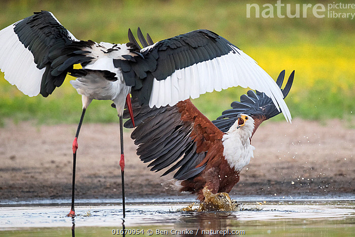 African fish eagle (Haliaeetus vocifer) battles to keep a freshly caught fish, stolen for a meal from a Saddle-billed stork (Ephippiorhynchus senegalensis). Liuwa Plain National Park, Zambia  ,  Animal,Wildlife,Vertebrate,Bird,Birds,Sea eagle,African fish eagle,Stork,Saddlebill,Animalia,Animal,Wildlife,Vertebrate,Aves,Bird,Birds,Accipitriformes,Accipitridae,Haliaeetus,Sea eagle,Eagle,Bird of prey,Raptor,Haliaeetus vocifer,African fish eagle,Fish eagle,River eagle,Ciconiiformes,Ciconiidae,Stork,Ephippiorhynchus,Ephippiorhynchus senegalensis,Saddlebill,Saddlebilled stork,African jabiru,Saddle billed stork,Theft,Confronting,Confronts,Africa,Zambia,Southern Africa,Water Hole,Water Holes,Freshwater,Wetland,Water,Animal Behaviour,Aggression,Reserve,Protected area,National Park,Stealing,Competition,Liuwa Plain National Park,Birds of Prey,  ,  Ben Cranke
