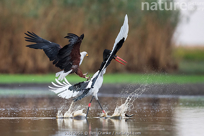 African fish eagle (Haliaeetus vocifer) pressurises a Saddle-billed stork (Ephippiorhynchus senegalensis) into dropping a freshly caught fish, so that it can be stolen for a meal. Liuwa Plain National Park, Zambia  ,  Animal,Wildlife,Vertebrate,Bird,Birds,Sea eagle,African fish eagle,Stork,Saddlebill,Animalia,Animal,Wildlife,Vertebrate,Aves,Bird,Birds,Accipitriformes,Accipitridae,Haliaeetus,Sea eagle,Eagle,Bird of prey,Raptor,Haliaeetus vocifer,African fish eagle,Fish eagle,River eagle,Ciconiiformes,Ciconiidae,Stork,Ephippiorhynchus,Ephippiorhynchus senegalensis,Saddlebill,Saddlebilled stork,African jabiru,Saddle billed stork,Flying,Theft,Confronting,Confronts,Africa,Zambia,Southern Africa,Water Hole,Water Holes,Freshwater,Wetland,Water,Animal Behaviour,Aggression,Reserve,Protected area,National Park,Stealing,Competition,Liuwa Plain National Park,Birds of Prey,  ,  Ben Cranke