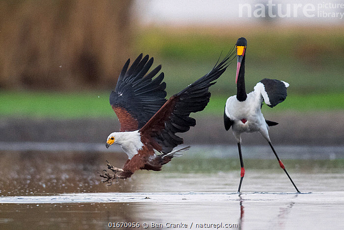 African fish eagle (Haliaeetus vocifer) swoops to catch a freshly caught fish, dropped by a Saddle-billed stork (Ephippiorhynchus senegalensis) after being pressuried to do so by the eagle. Liuwa Plain National Park, Zambia  ,  Animal,Wildlife,Vertebrate,Bird,Birds,Sea eagle,African fish eagle,Stork,Saddlebill,Animalia,Animal,Wildlife,Vertebrate,Aves,Bird,Birds,Accipitriformes,Accipitridae,Haliaeetus,Sea eagle,Eagle,Bird of prey,Raptor,Haliaeetus vocifer,African fish eagle,Fish eagle,River eagle,Ciconiiformes,Ciconiidae,Stork,Ephippiorhynchus,Ephippiorhynchus senegalensis,Saddlebill,Saddlebilled stork,African jabiru,Saddle billed stork,Flying,Landing,Africa,Zambia,Southern Africa,Water Hole,Water Holes,Freshwater,Wetland,Water,Reserve,Protected area,National Park,Liuwa Plain National Park,Birds of Prey,  ,  Ben Cranke