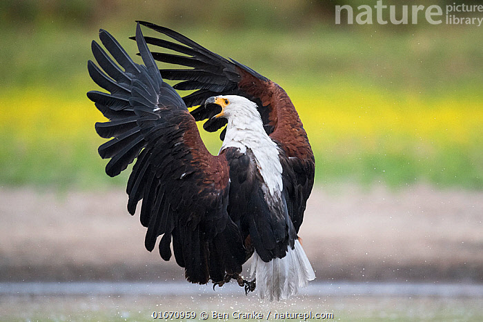African fish eagle (Haliaeetus vocifer) flies in fast and directly, to pressurise a Saddle-billed stork (Ephippiorhynchus senegalensis) into dropping a freshly caught fish so that it can be stolen for a meal by the eagle. Liuwa Plain National Park, Zambia  ,  Animal,Wildlife,Vertebrate,Bird,Birds,Sea eagle,African fish eagle,Animalia,Animal,Wildlife,Vertebrate,Aves,Bird,Birds,Accipitriformes,Accipitridae,Haliaeetus,Sea eagle,Eagle,Bird of prey,Raptor,Haliaeetus vocifer,African fish eagle,Fish eagle,River eagle,Flying,Landing,Africa,Zambia,Southern Africa,Water Hole,Water Holes,Freshwater,Wetland,Water,Reserve,Protected area,National Park,Liuwa Plain National Park,Birds of Prey,  ,  Ben Cranke