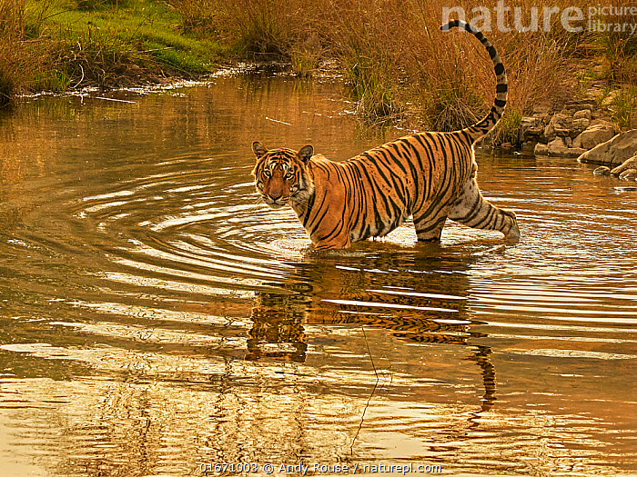 """Bengal tiger (Panthera tigris) male """"Jam"""" crossing river, Ranthambhore, India  ,  Animal,Wildlife,Vertebrate,Mammal,Carnivore,Cat,Big cat,Tiger,Animalia,Animal,Wildlife,Vertebrate,Mammalia,Mammal,Carnivora,Carnivore,Felidae,Cat,Panthera,Big cat,Panthera tigris,Tiger,Felis tigris,Tigris striatus,Tigris regalis,Ripple,Rippled,Asia,Indian Subcontinent,India,Flowing Water,River,Freshwater,Water,Reserve,Protected area,National Park,Rajasthan,Ranthambore National Park,Endangered species,threatened,Endangered  ,  Andy Rouse"""
