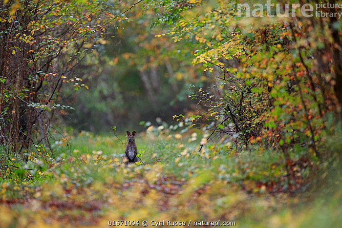 Red-necked wallaby (Macropus rufogriseus) in woodland clearing. Population naturalised after escaping from an animal park. Rambouillet forest, Ile-de-France, France. October 2019.  ,  Animal,Wildlife,Vertebrate,Mammal,Marsupial,Macropod,Bennett&#39,s Wallaby,Animalia,Animal,Wildlife,Vertebrate,Mammalia,Mammal,Marsupialia,Marsupial,Macropodidae,Macropod,Macropus,Macropus rufogriseus,Bennett&#39,s Wallaby,Red-necked Wallaby,Wallaby,Notamacropus,Europe,Western Europe,France,Ile De France,Franche-Comte,Clearing,Glade,Clearings,Forest,Exotics,Alien,Alien Species,Introduced species,Franche-Comté,Naturalised,Naturalized,  ,  Cyril Ruoso