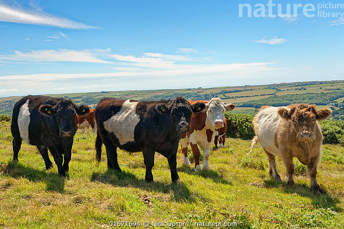 Belted Galloway cattle (Bos taurus) bullocks grazing chalk grassland to keep scrub and woodland at bay, Ballard Down, Corfe Castle, Dorset, UK, August.  ,  Group Of Animals,Herd,Group,Europe,Western Europe,UK,Great Britain,England,Dorset,Animal,Landscape,Summer,Livestock,Countryside,Domestic animal,Cattle,Galloway cattle,Domesticated,Mammal,  ,  Nick Upton