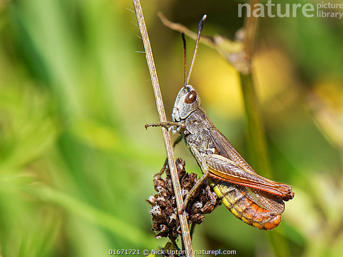 Rufous grasshopper (Gomphocerippus rufus) male, a nationally scarce species in the UK with distinctive white-tipped antennae, resting on a plant stem on a south facing chalk grassland slope, near Bradford-on-Avon, Wiltshire, UK, September.  ,  Animal,Wildlife,Arthropod,Insect,Orthopterida,Grasshopper,Slantfaced grasshopper,Rufous grasshopper,Animalia,Animal,Wildlife,Hexapoda,Arthropod,Invertebrate,Hexapod,Arthropoda,Insecta,Insect,Orthoptera,Orthopterida,Acrididae,Grasshopper,Short horned grasshopper,Acrid,Acridoidea,Caelifera,Gomphocerippus,Slantfaced grasshopper,Slant faced grasshopper,Gomphocerinae,Gomphocerippus rufus,Rufous grasshopper,Gomphocerus rufus,Acridium clavicorne,Gryllus rufus,Europe,Western Europe,UK,Great Britain,England,Wiltshire,Male Animal,  ,  Nick Upton