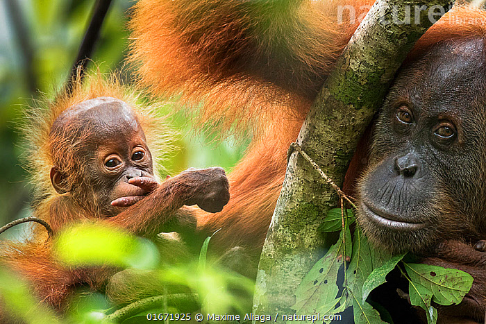 Sumatran orangutan (Pongo abelii) female with infant. The female Marconi had been rehabilited by SOCP program. She had a baby in 2017 born in the forest of Jantho, Aceh province where she was been released., Jantho Forest Reserve, Sumatra.  ,  Animal,Wildlife,Vertebrate,Mammal,Ape,Great ape,Orangutan,Sumatran Orangutan,Animalia,Animal,Wildlife,Vertebrate,Mammalia,Mammal,Primate,Primates,Hominidae,Ape,Great ape,Hominoidea,Pongo,Orangutan,Orang utan,Ponginae,Pongo abelii,Sumatran Orangutan,Cute,Adorable,Asia,South East Asia,Indonesia,Young Animal,Baby,Female animal,Family,Mother baby,Mother,Biodiversity hotspot,Sumatra,Parent baby,Endangered species,threatened,Critically endangered  ,  Maxime Aliaga