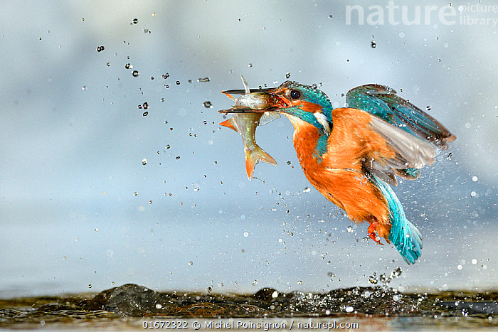 Kingfisher (Alcedo atthis) male, after diving, taking off from water with fish, a Common Roach (Rutilus rutilus) Lorraine, France, July  ,  Animal,Wildlife,Vertebrate,Ray-finned fish,Cyprinids,Roach,Bird,Birds,River kingfisher,Common kingfisher,Animalia,Animal,Wildlife,Vertebrate,Actinopterygii,Ray-finned fish,Osteichthyes,Bony fish,Fish,Cypriniformes,Cyprinidae,Cyprinids,Cyprinid fishes,Rutilus,Roach,Rutilus rutilus,Rutilus vegariticus,Leucicus rutilus,Cuprinus jaculus,Aves,Bird,Birds,Coraciiformes,Alcedinidae,River kingfisher,Kingfisher,Alcedo,Alcedo atthis,Common kingfisher,European kingfisher,Eurasian kingfisher,Flying,Splashing,July,Europe,Western Europe,France,Water,Freshwater  ,  Michel Poinsignon