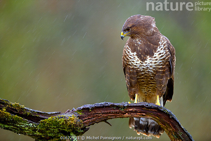 Buzzard (Buteo buteo) perched on branch in the rain, Lorraine, France, January  ,  Animal,Wildlife,Vertebrate,Bird,Birds,Buzzard,Common buzzard,Animalia,Animal,Wildlife,Vertebrate,Aves,Bird,Birds,Accipitriformes,Accipitridae,Buteo,Buzzard,Hawk,Bird of prey,Raptor,Buteo buteo,Common buzzard,Eurasian buzzard,January,Europe,Western Europe,France,Lorraine,Weather,Raining,Rain,Birds of Prey,  ,  Michel Poinsignon