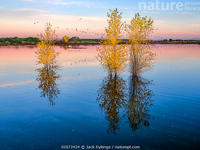 Cottonwoods in autumn in the ponds of the refuge in morning light with reflections in the rising water level, near the Colorado River, Cibola National Wildlife Refuge, Arizona, USA. November 2020.  ,  Plant,Vascular plant,Flowering plant,Rosid,Cottonwood tree,American,Plantae,Plant,Tracheophyta,Vascular plant,Magnoliopsida,Flowering plant,Angiosperm,Spermatophyte,Spermatophytina,Angiospermae,Malpighiales,Rosid,Dicot,Dicotyledon,Rosanae,Salicaceae,Populus,Cottonwood tree,Cottonwood,Mood,Calm,Few,Three,Group,North America,USA,Western USA,Southwest USA,Arizona,Reflection,Autumn,Freshwater,Wetland,Pond,Water,Protected area,American,United States of America,Tree,Trees  ,  Jack Dykinga