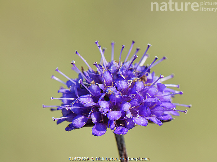 Devil's bit scabious (Succisa pratensis) flowering in a chalk grassland meadow in autumn, Wiltshire, UK, September.  ,  Plant,Vascular plant,Flowering plant,Asterid,Teasel family,Devils bit scabious,Plantae,Plant,Tracheophyta,Vascular plant,Magnoliopsida,Flowering plant,Angiosperm,Spermatophyte,Spermatophytina,Angiospermae,Dipsacales,Asterid,Dicot,Dicotyledon,Asteranae,Dipsacaceae,Teasel family,Succisa,Succisa pratensis,Devils bit scabious,Devilsbit scabious,Scabiosa succisa,Scabiosa arvensis,Colour,Purple,Europe,Western Europe,UK,Great Britain,England,Wiltshire,Copy Space,Flower,Negative space,  ,  Nick Upton