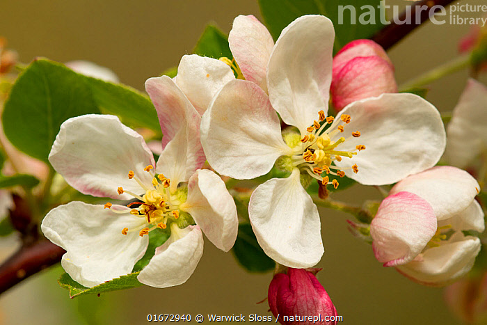 Apple tree (Malus domestica) blossom flowers, Somerset, UK, April.  ,  Plant,Vascular plant,Flowering plant,Rosid,Apple,European crab apple tree,Cultivated apple tree,Plantae,Plant,Tracheophyta,Vascular plant,Magnoliopsida,Flowering plant,Angiosperm,Spermatophyte,Spermatophytina,Angiospermae,Rosales,Rosid,Dicot,Dicotyledon,Rosanae,Rosaceae,Malus,Apple,Apple tree,Malus pumila,European crab apple tree,Paradise apple,Malus sylvestris,Malus communis,Malus domestica,Cultivated apple tree,Pyrus malus var. mitis,Malus sylvestris orientalis,Europe,Western Europe,UK,Great Britain,England,Somerset,Flower,Blossom,Spring,Edible,Fruit,Fruits,Tree,Trees  ,  Warwick Sloss