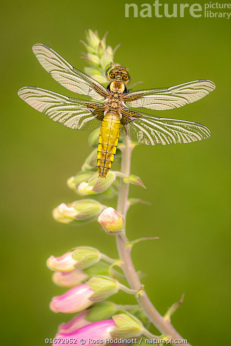Broad-bodied chaser dragonfly (Libellula depressa) resting on Foxglove (Digitalis purpurea). Cornwall, England, UK. April.  ,  Plant,Vascular plant,Flowering plant,Asterid,Figwort,Foxglove,Common foxglove,Animal,Wildlife,Arthropod,Insect,Pterygota,Skimmer,Broad bodied chaser,Plantae,Plant,Tracheophyta,Vascular plant,Magnoliopsida,Flowering plant,Angiosperm,Spermatophyte,Spermatophytina,Angiospermae,Lamiales,Asterid,Dicot,Dicotyledon,Asteranae,Scrophulariaceae,Figwort,Scrofulaires,Digitalis,Foxglove,Digitalis purpurea,Common foxglove,Purple foxglove,Lady&#39,s glove,Digitalis alba,Digitalis gloxinioides,Digitalis libertiana,Animalia,Animal,Wildlife,Hexapoda,Arthropod,Invertebrate,Hexapod,Arthropoda,Insecta,Insect,Odonata,Pterygota,Libellulidae,Skimmer,Skimmer dragonfly,Dragonfly,Anisoptera,Epiprocta,Libellula,Libellula depressa,Broad bodied chaser,Broadbodied chaser,Europe,Western Europe,UK,Great Britain,England,Cornwall,High Angle View,Flower,Elevated view,Dorsal view,  ,  Ross Hoddinott