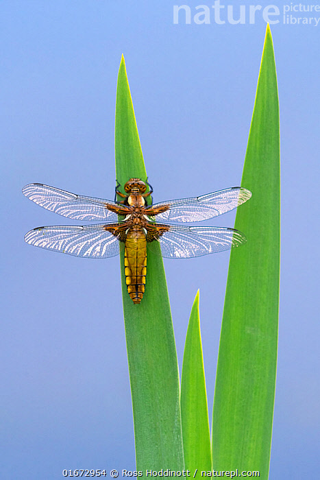 Broad-bodied chaser dragonfly (Libellula depressa) resting on reeds. Cornwall, England, UK. April.  ,  Animal,Wildlife,Arthropod,Insect,Pterygota,Skimmer,Broad bodied chaser,Animalia,Animal,Wildlife,Hexapoda,Arthropod,Invertebrate,Hexapod,Arthropoda,Insecta,Insect,Odonata,Pterygota,Libellulidae,Skimmer,Skimmer dragonfly,Dragonfly,Anisoptera,Epiprocta,Libellula,Libellula depressa,Broad bodied chaser,Broadbodied chaser,Europe,Western Europe,UK,Great Britain,England,Cornwall,Coloured Background,Blue Background,High Angle View,Elevated view,Dorsal view,  ,  Ross Hoddinott