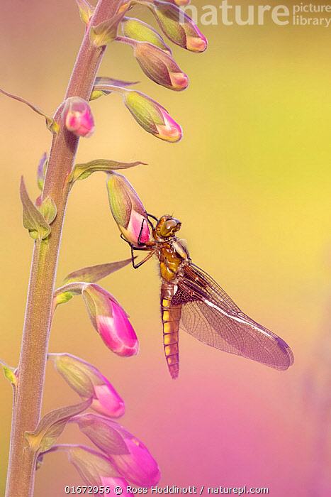 Broad-bodied chaser dragonfly (Libellula depressa), recently emerged, resting on Foxglove (Digitalis purpurea). Cornwall, England, UK. May.  ,  Plant,Vascular plant,Flowering plant,Asterid,Figwort,Foxglove,Common foxglove,Animal,Wildlife,Arthropod,Insect,Pterygota,Skimmer,Broad bodied chaser,Plantae,Plant,Tracheophyta,Vascular plant,Magnoliopsida,Flowering plant,Angiosperm,Spermatophyte,Spermatophytina,Angiospermae,Lamiales,Asterid,Dicot,Dicotyledon,Asteranae,Scrophulariaceae,Figwort,Scrofulaires,Digitalis,Foxglove,Digitalis purpurea,Common foxglove,Purple foxglove,Lady&#39,s glove,Digitalis alba,Digitalis gloxinioides,Digitalis libertiana,Animalia,Animal,Wildlife,Hexapoda,Arthropod,Invertebrate,Hexapod,Arthropoda,Insecta,Insect,Odonata,Pterygota,Libellulidae,Skimmer,Skimmer dragonfly,Dragonfly,Anisoptera,Epiprocta,Libellula,Libellula depressa,Broad bodied chaser,Broadbodied chaser,Colour,Pink,Europe,Western Europe,UK,Great Britain,England,Cornwall,Flower,  ,  Ross Hoddinott