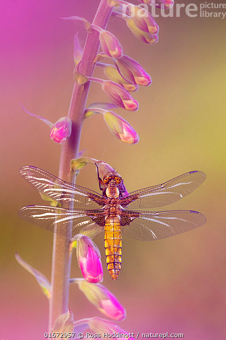 Broad-bodied chaser dragonfly (Libellula depressa), recently emerged, resting on Foxglove (Digitalis purpurea). Cornwall, England, UK. May.  ,  Plant,Vascular plant,Flowering plant,Asterid,Figwort,Foxglove,Common foxglove,Animal,Wildlife,Arthropod,Insect,Pterygota,Skimmer,Broad bodied chaser,Plantae,Plant,Tracheophyta,Vascular plant,Magnoliopsida,Flowering plant,Angiosperm,Spermatophyte,Spermatophytina,Angiospermae,Lamiales,Asterid,Dicot,Dicotyledon,Asteranae,Scrophulariaceae,Figwort,Scrofulaires,Digitalis,Foxglove,Digitalis purpurea,Common foxglove,Purple foxglove,Lady&#39,s glove,Digitalis alba,Digitalis gloxinioides,Digitalis libertiana,Animalia,Animal,Wildlife,Hexapoda,Arthropod,Invertebrate,Hexapod,Arthropoda,Insecta,Insect,Odonata,Pterygota,Libellulidae,Skimmer,Skimmer dragonfly,Dragonfly,Anisoptera,Epiprocta,Libellula,Libellula depressa,Broad bodied chaser,Broadbodied chaser,Colour,Pink,Europe,Western Europe,UK,Great Britain,England,Cornwall,High Angle View,Flower,Elevated view,Dorsal view,  ,  Ross Hoddinott