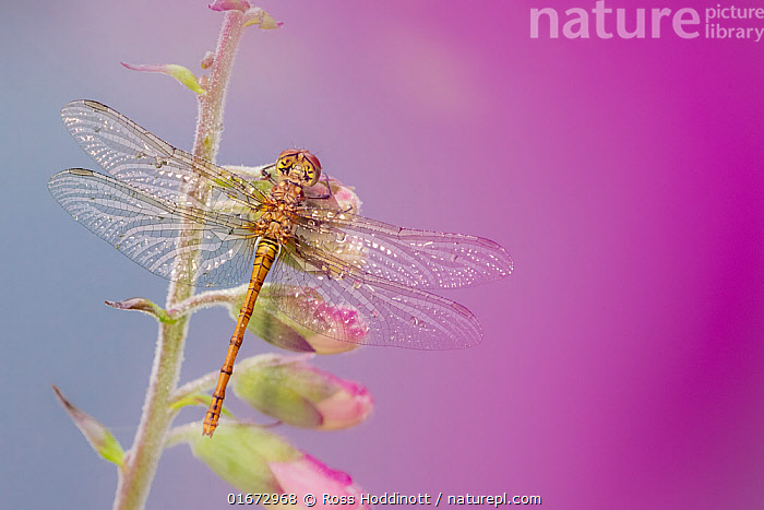 Common darter dragonfly (Sympetrum striolatum) resting on Foxglove (Digitalis purpurea). Cornwall, England, UK. July.  ,  Plant,Vascular plant,Flowering plant,Asterid,Figwort,Foxglove,Common foxglove,Animal,Wildlife,Arthropod,Insect,Pterygota,Skimmer,Darter,Common darter,Plantae,Plant,Tracheophyta,Vascular plant,Magnoliopsida,Flowering plant,Angiosperm,Spermatophyte,Spermatophytina,Angiospermae,Lamiales,Asterid,Dicot,Dicotyledon,Asteranae,Scrophulariaceae,Figwort,Scrofulaires,Digitalis,Foxglove,Digitalis purpurea,Common foxglove,Purple foxglove,Lady&#39,s glove,Digitalis alba,Digitalis gloxinioides,Digitalis libertiana,Animalia,Animal,Wildlife,Hexapoda,Arthropod,Invertebrate,Hexapod,Arthropoda,Insecta,Insect,Odonata,Pterygota,Libellulidae,Skimmer,Skimmer dragonfly,Dragonfly,Anisoptera,Epiprocta,Sympetrum,Darter,Meadowhawk,Sympetrum striolatum,Common darter,Sympetrum ornatum,Colour,Purple,Europe,Western Europe,UK,Great Britain,England,Cornwall,Copy Space,High Angle View,Wing,Elevated view,Negative space,Dorsal view,  ,  Ross Hoddinott