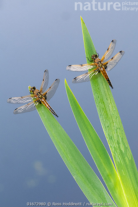 Four-spotted chaser dragonfly (Libellula quadrimaculata), two resting on reeds. Cornwall, England, UK. May.  ,  Animal,Wildlife,Arthropod,Insect,Pterygota,Skimmer,Four spotted chaser,Animalia,Animal,Wildlife,Hexapoda,Arthropod,Invertebrate,Hexapod,Arthropoda,Insecta,Insect,Odonata,Pterygota,Libellulidae,Skimmer,Skimmer dragonfly,Dragonfly,Anisoptera,Epiprocta,Libellula,Libellula quadrimaculata,Four spotted chaser,Fourspotted chaser,Four spotted skimmer,Fourspot pond skimmer,Four spot pond skimmer,Four spotted libellula,Two,Europe,Western Europe,UK,Great Britain,England,Cornwall,Coloured Background,Blue Background,Two animals,  ,  Ross Hoddinott