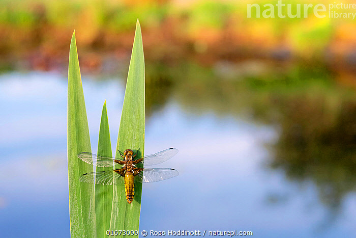 RF - Broad-bodied chaser dragonfly (Libellula depressa) resting on reeds at edge of garden pond. Broxwater, Cornwall, England, UK. April 2020. (This image may be licensed either as rights managed or royalty free.)  ,  Animal,Wildlife,Arthropod,Insect,Pterygota,Skimmer,Broad bodied chaser,Animalia,Animal,Wildlife,Hexapoda,Arthropod,Invertebrate,Hexapod,Arthropoda,Insecta,Insect,Odonata,Pterygota,Libellulidae,Skimmer,Skimmer dragonfly,Dragonfly,Anisoptera,Epiprocta,Libellula,Libellula depressa,Broad bodied chaser,Broadbodied chaser,Resting,Rest,Europe,Western Europe,UK,Great Britain,England,Cornwall,High Angle View,Freshwater,Pond,Water,Elevated view,Dorsal view,RF,Royalty free,RF7,  ,  Ross Hoddinott
