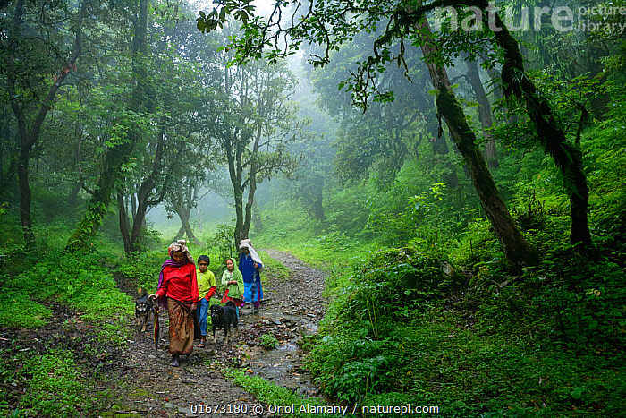 A Nepalese family, flanked by their two Tibetan mastiff dogs, walks along path through the Rhododendron forests at an alttude of 3,000 metres on their way to the village of Ghorepani, during the monsoon season. Annapurna Conservation Area, Myagdi District, Himalayas, Nepal, July.  ,  Asia,Nepal,Himalaya,Mountains,Plants,Nature,Annapurna,ACAP,Annapurna Conservation Area,Ghorepani,mist,fog,forest,mountain,family,people,dog,four,4,Rhododendron,green,cold,altitude,,Canis familiaris,People,Family,Lush,Colour,Green,Asia,Indian Subcontinent,Nepal,Animal,Plant,Ericale,Ericales,Heather Family,Ericaceae,Rhododendron,Rhododendrons,Path,Tropical climate,Rainy season,Monsoon,Domestic animal,Pet,Forest,Domestic Dog,Working Dog,Extra Large dog,Tibetan Mastiff,Domesticated,Himalaya,Biodiversity hotspot,Canis familiaris,Protected area,Dog,Altitude,Annapurna,Wet season,Mammal,  ,  Oriol  Alamany
