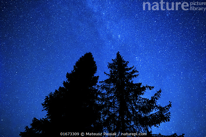 Pine and fir trees at night with the Milky Way and stars in the sky. Bieszczady Mountains, Poland. September.  ,  Plant,Vascular plant,Conifer,Pine tree,Fir tree,Plantae,Plant,Tracheophyta,Vascular plant,Pinopsida,Conifer,Gymnosperm,Spermatophyte,Pinophyta,Coniferophyta,Coniferae,Spermatophytina,Gymnospermae,Pinales,Pinaceae,Pinus,Pine tree,Pine,Abies,Fir tree,Fir,Europe,Eastern Europe,East Europe,Poland,Back Lit,Tree,Outer Space,The Universe,Galaxy,Galaxies,Stars,Night,Beautiful,Forest,Silhouette,Milky Way,Coniferous,Tree,Trees  ,  Mateusz Piesiak