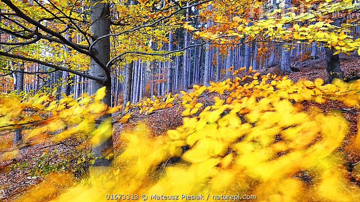 Autumn European beech (Fagus sylvatica) and pine forest in the background photographed with a wide angle lens on a windy day. Owl Mountains, Poland. November.  ,  Plant,Vascular plant,Flowering plant,Rosid,Beech tree,European beech tree,Plantae,Plant,Tracheophyta,Vascular plant,Magnoliopsida,Flowering plant,Angiosperm,Spermatophyte,Spermatophytina,Angiospermae,Fagales,Rosid,Dicot,Dicotyledon,Rosanae,Fagaceae,Fagus,Beech tree,Beech,Fagus sylvatica,European beech tree,Common beech,Fagus asplenifolia,Fagus cristata,Colour,Yellow,Shape,Swirl,Swirling,Swirls,Europe,Eastern Europe,East Europe,Poland,Photographic Effect,Long Exposure,Leaf,Foliage,Autumn,Arty shots,Forest,Tree,Trees  ,  Mateusz Piesiak