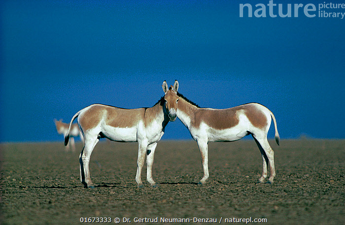 Two male Indian Wild Asses (Equus hemionus khur), looking like they share a single head, Little Rann of Kutch, Gujarat, SW India.  ,  Salt flat,Salt desert,,Animal,Wildlife,Vertebrate,Mammal,Odd toed ungulate,Asian Wild Ass,Indian wild ass,Animalia,Animal,Wildlife,Vertebrate,Mammalia,Mammal,Perissodactyla,Odd toed ungulate,Equidae,Equus,Equus hemionus,Asian Wild Ass,Asiatic Wild Ass,Kulan,Humorous,Illusion,Illusions,Two,Asia,Indian Subcontinent,India,Profile,Side View,Tricks,Eye contact,Onager,Direct Gaze,Gujarat,Double,Looking,Equus hemionus khur,Indian wild ass,Endangered species,threatened,Endangered,Near Threatened  ,  Dr. Gertrud Neumann-Denzau