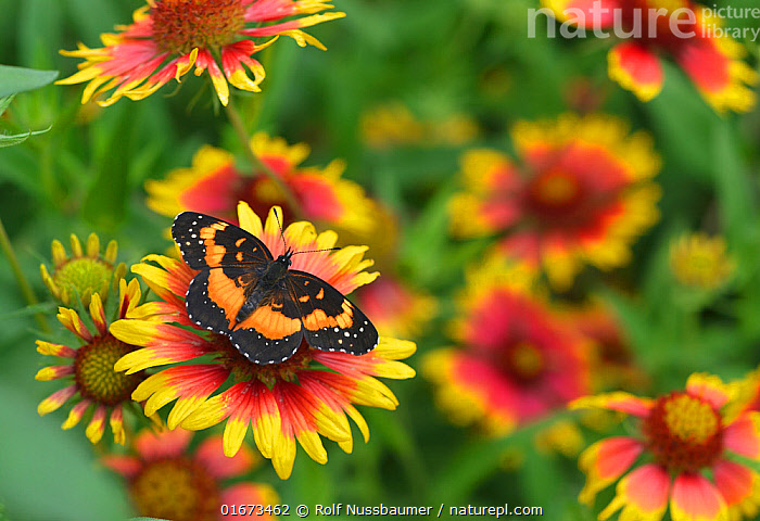 Bordered patch butterfly (Chlosyne lacinia) on Indian blanket (Gaillardia pulchella). Hill Country, Texas, USA.  ,  Plant,Vascular plant,Flowering plant,Asterid,Blanketflower,Firewheel,Animal,Wildlife,Arthropod,Insect,Brushfooted butterfly,Bordered patch,American,Plantae,Plant,Tracheophyta,Vascular plant,Magnoliopsida,Flowering plant,Angiosperm,Spermatophyte,Spermatophytina,Angiospermae,Asterales,Asterid,Dicot,Dicotyledon,Asteranae,Asteraceae,Compositae,Gaillardia,Blanketflower,Gaillardia pulchella,Firewheel,Indian blanket,Indianblanket,Indian blanketflower,Sundance,Rosering gaillardia,Gaillardia neomexicana,Gaillardia drummondii,Gaillardia picta,Animalia,Animal,Wildlife,Hexapoda,Arthropod,Invertebrate,Hexapod,Arthropoda,Insecta,Insect,Lepidoptera,Lepidopterans,Nymphalidae,Brushfooted butterfly,Fourfooted butterfly,Nymphalid,Butterfly,Papilionoidea,Chlosyne,Chlosyne lacinia,Bordered patch,Sunflower patch butterfly,Colour,Orange,Red,Yellow,Colourful,North America,USA,Southern USA,Texas,Flower,American,United States of America,Hill Country,  ,  Rolf Nussbaumer