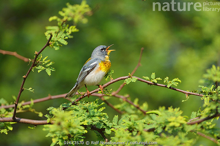 Northern parula (Setophaga americana) male singing. South Padre Island, Texas, USA.  ,  Animal,Wildlife,Vertebrate,Bird,Birds,Songbird,New world warbler,Northern parula,American,Animalia,Animal,Wildlife,Vertebrate,Aves,Bird,Birds,Passeriformes,Songbird,Passerine,Parulidae,New world warbler,Wood warbler,Warbler,Setophaga,Dendroica,Setophaga americana,Northern parula,Northern parula warbler,American parula,Parula warbler,Blue yellow backed warbler,Parula americana,Parus americanus,Compsothlypis americana,Writing,Signing,North America,USA,Southern USA,Texas,Male Animal,Mouth,Open Mouth,American,Cameron County,United States of America,South Padre Island,  ,  Rolf Nussbaumer