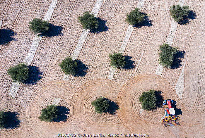 Aerial view of tractor plowing olive field, Toledo, Castilla-La Mancha, Spain. February 2020.  ,  Plant,Vascular plant,Flowering plant,Asterid,Olive tree,Plantae,Plant,Tracheophyta,Vascular plant,Magnoliopsida,Flowering plant,Angiosperm,Spermatophyte,Spermatophytina,Angiospermae,Lamiales,Asterid,Dicot,Dicotyledon,Asteranae,Oleaceae,Olea,Olive tree,Olea europaea,Pattern,Europe,Southern Europe,Spain,Aerial View,High Angle View,Crops,Produce,Cultivated,Tree,Olive Tree,Olive Trees,Agricultural Land,Cultivated Land,Field,Agriculture,Farmland,Elevated view,Drone,Drone shot,Crop,Crops  ,  Juan Carlos Munoz