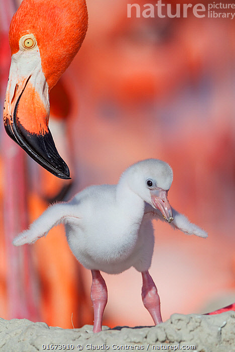 Caribbean flamingo (Phoenicopterus ruber) chick stretching wings, watched by adult, at nest in breeding colony, Ria Lagartos Biosphere Reserve, Yucatan Peninsula, Mexico, June  ,  Animal,Wildlife,Vertebrate,Bird,Birds,Flamingo,American flamingo,Animalia,Animal,Wildlife,Vertebrate,Aves,Bird,Birds,Phoenicopteriformes,Flamingo,Phoenicopteridae,Phoenicopterus,Phoenicopterus ruber,American flamingo,Caribbean flamingo,West Indian flamingo,Cuban flamingo,Phoenicopterus ruber ruber,Cute,Adorable,June,Latin America,Central America,Mexico,Young Animal,Baby,Chick,Animal Home,Nest,Family,Parent baby,Yucatan Peninsula,Yucatan,Ria Lagartos Biosphere Reserve,Biodiversity hotspot  ,  Claudio Contreras