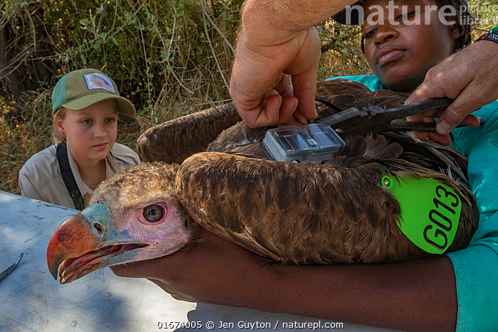 Biologist prepares to attach a solar-powered GPS transmitter between the shoulders of a young White-headed vulture (Trigonoceps occipitalis), using Teflon ribbon that fits like a harness across the vulture's chest. Assisting with the operation are young scientists Ayla Kaltenecker and Diolinda Mundoza. Gorongosa National Park, Mozambique  ,  Animal,Wildlife,Vertebrate,Bird,Birds,Vulture,White headed vulture,Animalia,Animal,Wildlife,Vertebrate,Aves,Bird,Birds,Accipitriformes,Accipitridae,Trigonoceps,Vulture,Old world vulture,Trigonoceps occipitalis,White headed vulture,People,Scientist,Scientists,Research,Researching,Africa,Southern Africa,Mozambique,Republic of Mozambique,Young Animal,Equipment,Science,Conservation equipment,Radio trackers,Local people,Mozambican,Gorongosa National Park,Birds of Prey,Raptor,Endangered species,threatened,Vulnerable  ,  Jen Guyton