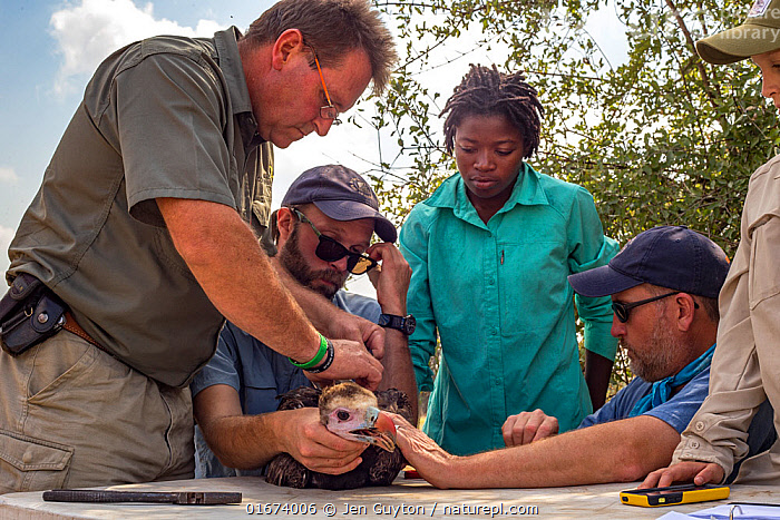 Scientists gently restrain a young White-headed vulture (Trigonoceps occipitalis) which will be fitted with a solar-powered GPS transmitter for monitoring purposes, Gorongosa National Park, Mozambique.  ,  Animal,Wildlife,Vertebrate,Bird,Birds,Vulture,White headed vulture,Animalia,Animal,Wildlife,Vertebrate,Aves,Bird,Birds,Accipitriformes,Accipitridae,Trigonoceps,Vulture,Old world vulture,Trigonoceps occipitalis,White headed vulture,People,African Descent,Scientist,Scientists,Research,Researching,Africa,Southern Africa,Mozambique,Republic of Mozambique,Young Animal,Equipment,Science,Conservation equipment,Radio trackers,Local people,Mozambican,Tracking,Tagging,Gorongosa National Park,Young Person,Birds of Prey,Raptor,Endangered species,threatened,Vulnerable  ,  Jen Guyton