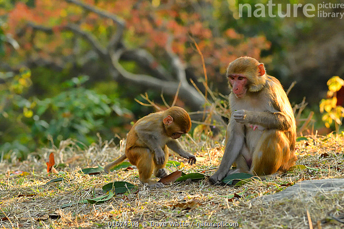 Rhesus macaque (Macaca mulatta) mother and baby in woodland, Pashupatinath, Kathmandu, Nepal  ,  Animal,Wildlife,Vertebrate,Mammal,Monkey,Macaque,Animalia,Animal,Wildlife,Vertebrate,Mammalia,Mammal,Primate,Primates,Cercopithecidae,Monkey,Old World Monkeys,Macaca,Macaque,Papionini,Macaca mulatta,Asia,Indian Subcontinent,Nepal,Young Animal,Baby,Female animal,Family,Mother baby,Mother,Parent baby,  ,  Dave Watts