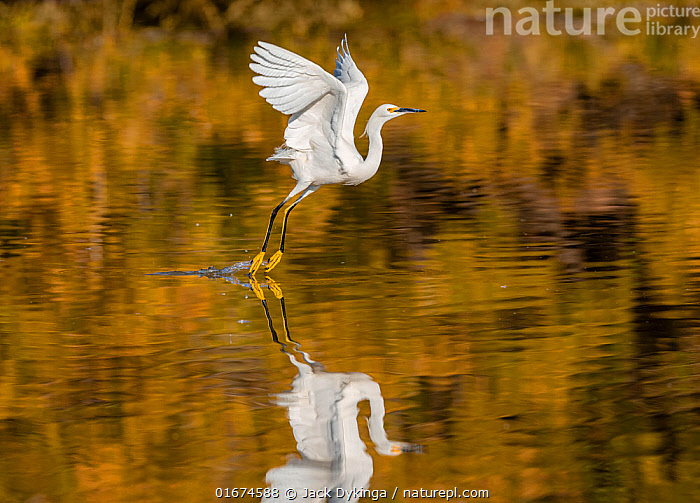 Snowy egret (Egretta thula) taking off from the Riparian Reserve pond, with autumn reflections of yellow ash tree on the water. Gilbert Riparian Preserve, Gilbert, Arizona, USA. December.  ,  Animal,Wildlife,Vertebrate,Bird,Birds,True egret,Snowy egret,American,Animalia,Animal,Wildlife,Vertebrate,Aves,Bird,Birds,Pelecaniformes,Ardeidae,Egretta,True egret,Heron,Ardeinae,Egretta thula,Snowy egret,Flying,Taking Off,North America,USA,Western USA,Southwest USA,Arizona,Profile,Side View,Reflection,Autumn,Freshwater,Water,American,United States of America,  ,  Jack Dykinga