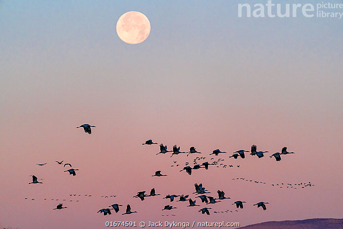 Sandhill cranes (Grus canadensis) flock flying, with full winter moon at dawn. Whitewater Draw Wildlife Area, Southeastern Arizona, USA. December.  ,  Animal,Wildlife,Vertebrate,Bird,Birds,Crane,Sandhill crane,American,Animalia,Animal,Wildlife,Vertebrate,Aves,Bird,Birds,Gruiformes,Gruidae,Crane,Grus,Grus canadensis,Sandhill crane,Little brown crane,Canadian crane,Flying,Group Of Animals,Flock,Group,North America,USA,Western USA,Southwest USA,Arizona,Copy Space,Back Lit,Moon,Winter,Twilight,Silhouette,Dawn,Negative space,Formation,American,United States of America,Antigone canadensis,  ,  Jack Dykinga