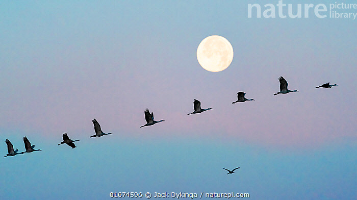 Sandhill cranes (Grus canadensis) flock flying in front of the moon at dawn, Whitewater Draw Wildlife Area, Southeastern Arizona, USA. December.  ,  Animal,Wildlife,Vertebrate,Bird,Birds,Crane,Sandhill crane,American,Animalia,Animal,Wildlife,Vertebrate,Aves,Bird,Birds,Gruiformes,Gruidae,Crane,Grus,Grus canadensis,Sandhill crane,Little brown crane,Canadian crane,Flying,Mood,Calm,Colour,Blue,Group Of Animals,Flock,Group,North America,USA,Western USA,Southwest USA,Arizona,Copy Space,Moon,Winter,Twilight,Dawn,Dusk,Negative space,In Line,American,United States of America,Antigone canadensis,  ,  Jack Dykinga