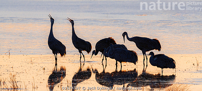 Sandhill cranes (Grus canadensis) group of six, silhouetted, calling in icy pond waters. Bosque del Apache, National Wildlife Refuge, New Mexico, USA. December.  ,  Animal,Wildlife,Vertebrate,Bird,Birds,Crane,Sandhill crane,American,Animalia,Animal,Wildlife,Vertebrate,Aves,Bird,Birds,Gruiformes,Gruidae,Crane,Grus,Grus canadensis,Sandhill crane,Little brown crane,Canadian crane,Vocalisation,Calling,Group,North America,USA,Western USA,Southwest USA,New Mexico,Back Lit,Ice,Winter,Freshwater,Water,Animal Behaviour,Silhouette,Bosque del Apache,American,United States of America,Bosque del Apache National Wildlife Refuge,Antigone canadensis,  ,  Jack Dykinga