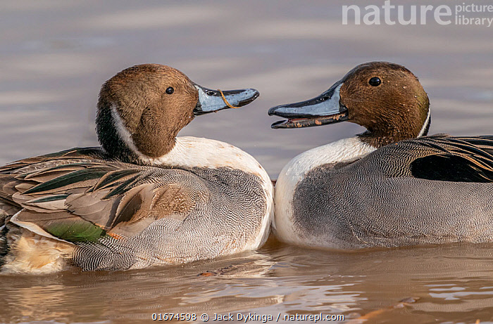 Northern pintail ducks (Anas acuta) males in territorial fight, Bosque del Apache, National Wildlife Refuge, New Mexico, USA. December.  ,  Animal,Wildlife,Vertebrate,Bird,Birds,Water fowl,Waterfowl,Dabbling duck,Northern pintail,American,Animalia,Animal,Wildlife,Vertebrate,Aves,Bird,Birds,Anseriformes,Water fowl,Galloanserans,Waterfowl,Anatidae,Anas,Dabbling duck,Anatinae,Anas acuta,Northern pintail,Pintail,Common pintail,Confronting,Confronts,Face To Face,Two,North America,USA,Western USA,Southwest USA,New Mexico,Male Animal,Freshwater,Water,Bosque del Apache,American,United States of America,Bosque del Apache National Wildlife Refuge,Wildfowl,Duck,Ducks  ,  Jack Dykinga
