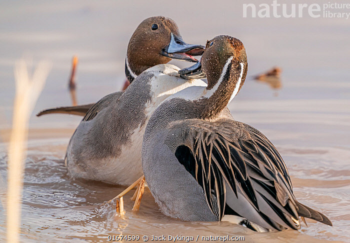 Northern pintail ducks (Anas acuta) males in territorial fight, Bosque del Apache, National Wildlife Refuge, New Mexico, USA. December.  ,  Animal,Wildlife,Vertebrate,Bird,Birds,Water fowl,Waterfowl,Dabbling duck,Northern pintail,American,Animalia,Animal,Wildlife,Vertebrate,Aves,Bird,Birds,Anseriformes,Water fowl,Galloanserans,Waterfowl,Anatidae,Anas,Dabbling duck,Anatinae,Anas acuta,Northern pintail,Pintail,Common pintail,Confronting,Confronts,North America,USA,Western USA,Southwest USA,New Mexico,Male Animal,Freshwater,Water,Animal Behaviour,Aggression,Fighting,Bosque del Apache,American,United States of America,Bosque del Apache National Wildlife Refuge,Wildfowl,Duck,Ducks  ,  Jack Dykinga