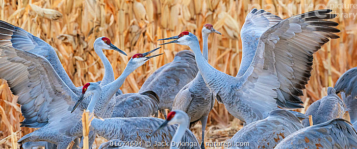 Sandhill cranes (Grus canadensis) flock with territorial fighting. Bosque del Apache National Wildlife Refuge, New Mexico, USA. December.  ,  Animal,Wildlife,Vertebrate,Bird,Birds,Crane,Sandhill crane,American,Animalia,Animal,Wildlife,Vertebrate,Aves,Bird,Birds,Gruiformes,Gruidae,Crane,Grus,Grus canadensis,Sandhill crane,Little brown crane,Canadian crane,Group Of Animals,Flock,Group,North America,USA,Western USA,Southwest USA,New Mexico,Animal Behaviour,Territorial,Aggression,Fighting,Bosque del Apache,American,United States of America,Bosque del Apache National Wildlife Refuge,Territories,Territory,Antigone canadensis,  ,  Jack Dykinga