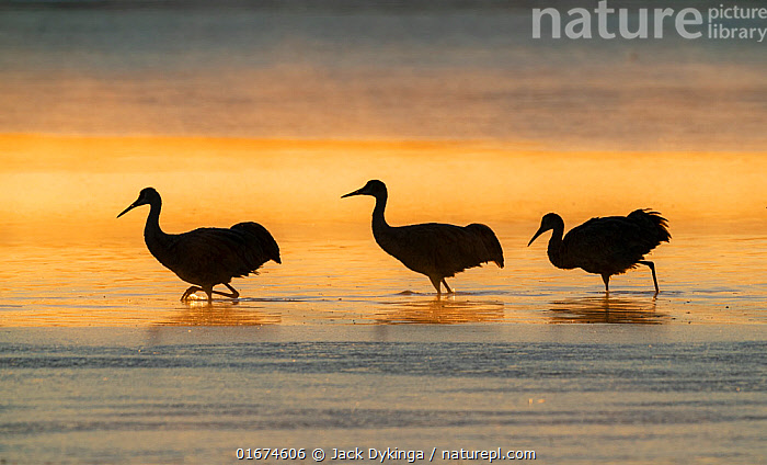Sandhill cranes (Grus canadensis) wading in water at sunrise. Bosque del Apache National Wildlife Refuge, New Mexico.  ,  Animal,Wildlife,Vertebrate,Bird,Birds,Crane,Sandhill crane,American,Animalia,Animal,Wildlife,Vertebrate,Aves,Bird,Birds,Gruiformes,Gruidae,Crane,Grus,Grus canadensis,Sandhill crane,Little brown crane,Canadian crane,Wading,Mood,Calm,Few,Three,Group,North America,USA,Western USA,Southwest USA,New Mexico,Back Lit,Sunrise,Beautiful,Freshwater,Water,Silhouette,Dawn,Bosque del Apache,American,United States of America,Bosque del Apache National Wildlife Refuge,Antigone canadensis,  ,  Jack Dykinga