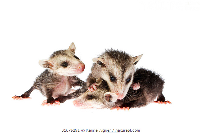 Three rescued baby North American opossums(Didelphis virginiana) on a white background, Florida, USA. Captive.  ,  Animal,Wildlife,Vertebrate,Mammal,Opposum,Virginia Opossum,American,Animalia,Animal,Wildlife,Vertebrate,Mammalia,Mammal,Didelphimorphia,Opposum,Possum,Marsupial,Marsupialia,Didelphidae,Didelphis,Didelphis virginiana,Virginia Opossum,Sibling,Siblings,Cute,Adorable,Rescue,Rescues,Rescuing,Saving,Few,Three,Group,North America,USA,Southern USA,Southeast USA,Florida,Copy Space,Cutout,Plain Background,White Background,Young Animal,Baby,Family,Negative space,American,United States of America,  ,  Karine Aigner