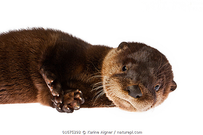 A rescued baby North American river otter (Lontra canadensis) on white background, Florida, USA. Captive.  ,  Animal,Wildlife,Vertebrate,Mammal,Carnivore,Mustelid,Otter,Canadian otter,American,Animalia,Animal,Wildlife,Vertebrate,Mammalia,Mammal,Carnivora,Carnivore,Mustelidae,Mustelid,Lontra,Otter,Lontra canadensis,Canadian otter,North American River Otter,Northern river otter,River otter,Lutra canadensis,Lying down,Cute,Adorable,Rescue,Rescues,Rescuing,Saving,North America,USA,Southern USA,Southeast USA,Florida,Copy Space,Cutout,Plain Background,White Background,Portrait,Young Animal,Baby,Baby Mammal,Pup,Pups,Eye contact,Direct Gaze,Negative space,American,United States of America,Looking,  ,  Karine Aigner